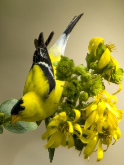 Male American Goldfinch, Spinus Tristis, in Breeding Plumage on a Flower-Paul Sutherland-Photographic Print