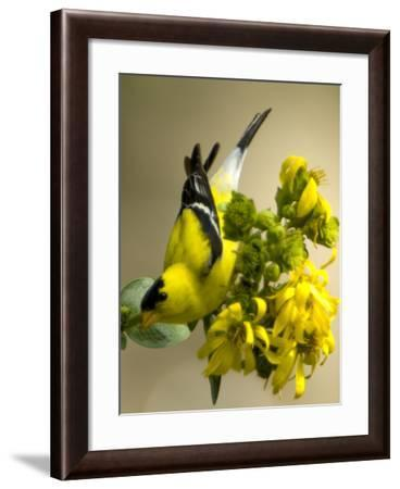 Male American Goldfinch, Spinus Tristis, in Breeding Plumage on a Flower-Paul Sutherland-Framed Photographic Print