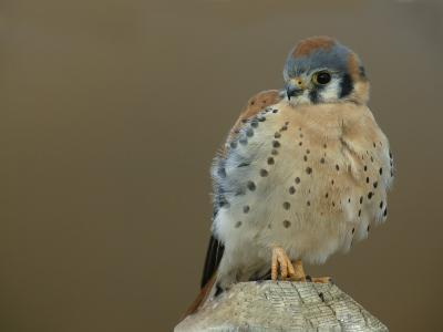 Male American Kestrel Sitting on a Post, Falco Sparverius, North America-Arthur Morris-Photographic Print