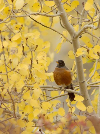 Male American Robin in Aspen Tree, Grand Teton National Park, Wyoming, USA-Rolf Nussbaumer-Photographic Print