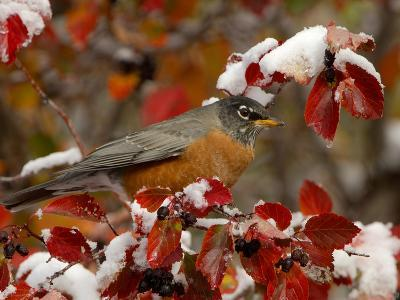 Male American Robin in Black Hawthorn, Grand Teton National Park, Wyoming, USA-Rolf Nussbaumer-Photographic Print