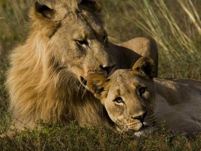 Male and Female African Lions, Panthera Leo, Nuzzling-Mattias Klum-Photographic Print
