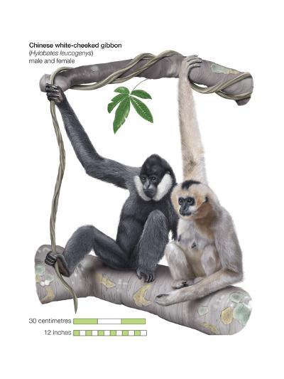 Male and Female Chinese White-Cheeked Gibbon (Hylobates Leucogenys), Ape, Mammals-Encyclopaedia Britannica-Art Print