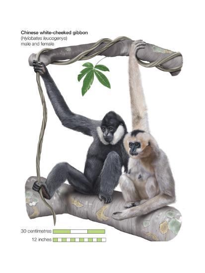 Male and Female Chinese White-Cheeked Gibbon (Hylobates Leucogenys), Ape, Mammals-Encyclopaedia Britannica-Art Print