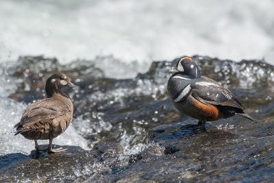 Male and Female Harlequin Ducks, Histrionicus Histrionicus, Standing at Water's Edge-Tom Murphy-Photographic Print