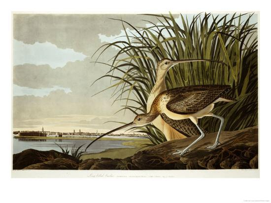Male And Female Long Billed Curlew (Numenius Americanus) with the City of Charleston Behind-John James Audubon-Giclee Print