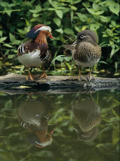 Male and Female Mandarin Ducks on a Log-Tim Laman-Photographic Print
