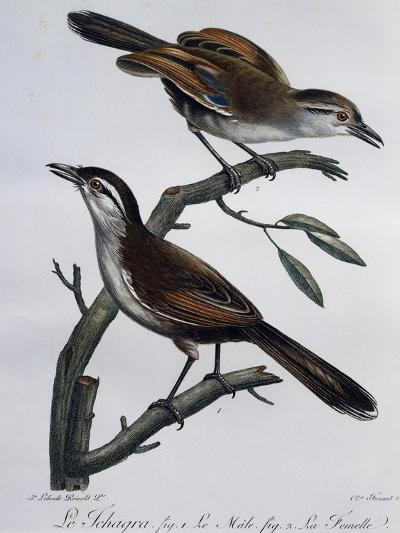 Male and Female of Black-Crowned Tchagra (Tchagra Senegalus)--Giclee Print
