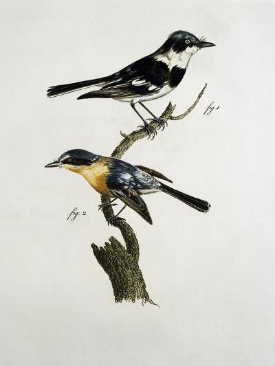 Male and Female of Pririt Batis (Batis Pririt)--Giclee Print