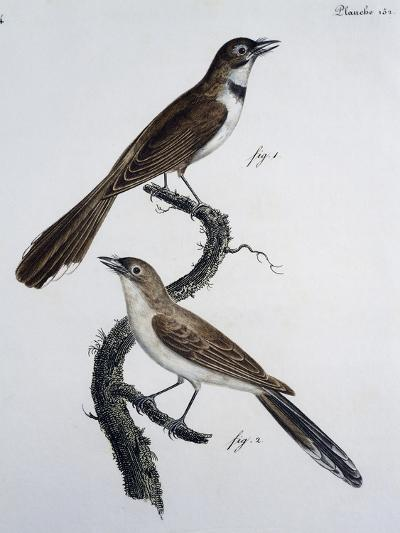 Male and Female of Spectacled Monarch (Monarcha Trivirgata)--Giclee Print