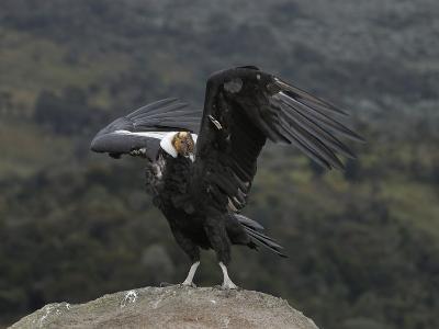 Male Andean Condor (Vultur Gryphus), Puracâ» Nationalpark, Department of Cauca, Colombia-Thomas Marent-Photographic Print