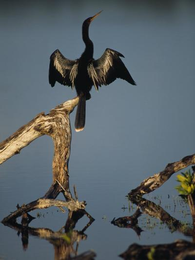 Male Anhinga Perches on a Tree Stump above a Coastal Lagoon-Klaus Nigge-Photographic Print