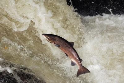 Male Atlantic Salmon (Salmo Salar) Leaping-Laurie Campbell-Photographic Print