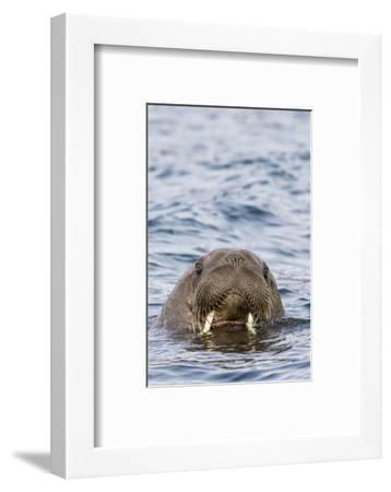 Male Atlantic walrus (Odobenus rosmarus rosmarus), head detail at Russebuhkta, Norway-Michael Nolan-Framed Photographic Print