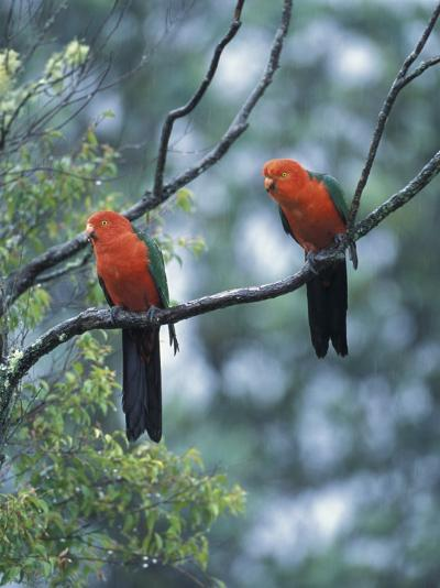 Male Australian King Parrots, Queensland, Australia-Howie Garber-Photographic Print
