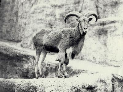 Male Barbary Sheep on the Mappin Terrace, London Zoo, May 1915-Frederick William Bond-Photographic Print
