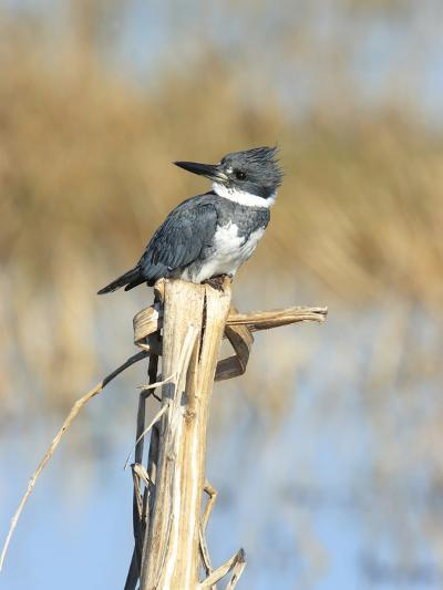 Male Belted Kingfisher (Ceryle Alcyon) Perching on Pig Weed Stalk-Marc Epstein-Photographic Print