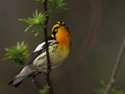 Male Blackburnian Warbler in Breeding Plumage, Pt. Pelee National Park, Ontario, Canada-Arthur Morris-Photographic Print