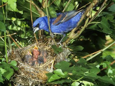 Male Blue Grosbeak (Guiraca Caerulea) at its Nest, Kentucky, USA-Steve Maslowski-Photographic Print