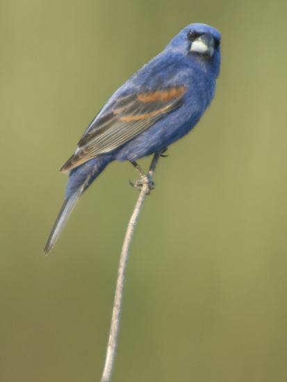 Male Blue Grosbeak, Guiraca Caerulea, in Breeding Plumage-Paul Sutherland-Photographic Print