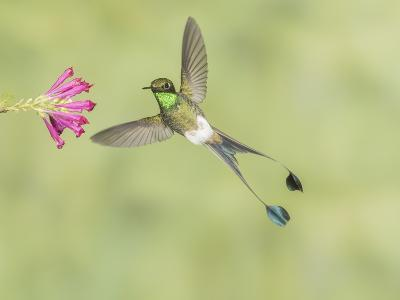 Male Booted Racket-Tail Hummingbird with Wings and Split Tail Spread Hovers at a Flower-Richard Seeley-Photographic Print