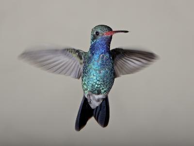Male Broad-Billed Hummingbird in Flight, Madera Canyon, Coronado National Forest, Arizona--Photographic Print