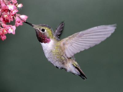Male Broad Tail Hummingbird-Russell Burden-Photographic Print
