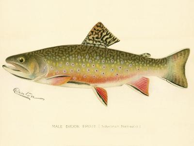 Male Brook Trout--Giclee Print