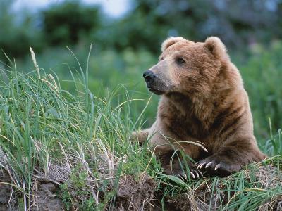 Male Brown Bear, Alaska Peninsula, Katmai National Park, Alaska, USA-Dee Ann Pederson-Photographic Print