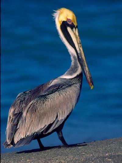 Male Brown Pelican in Breeding Plumage, Sanibel Island, Florida, USA-Charles Sleicher-Photographic Print