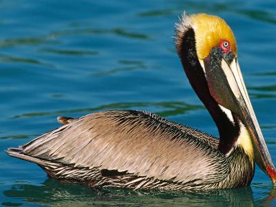 Male Brown Pelican in Breeding Plumage, West Coast of Mexico-Charles Sleicher-Photographic Print