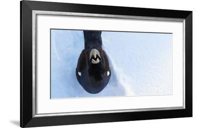 Male Capercaillie (Tetrao Urogallus) Looking Up, Kuusamo, Finland, March-Markus Varesvuo-Framed Photographic Print