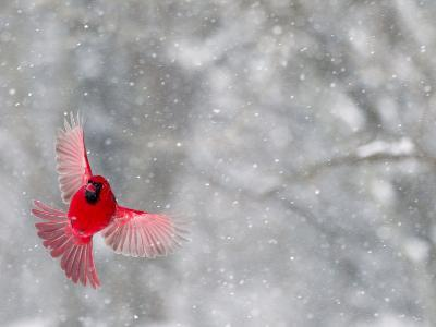 Male Cardinal With Wings Spread, Indianapolis, Indiana, USA-Wendy Kaveney-Photographic Print