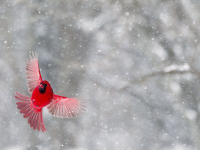 https://imgc.artprintimages.com/img/print/male-cardinal-with-wings-spread-indianapolis-indiana-usa_u-l-pxq5fr0.jpg?p=0