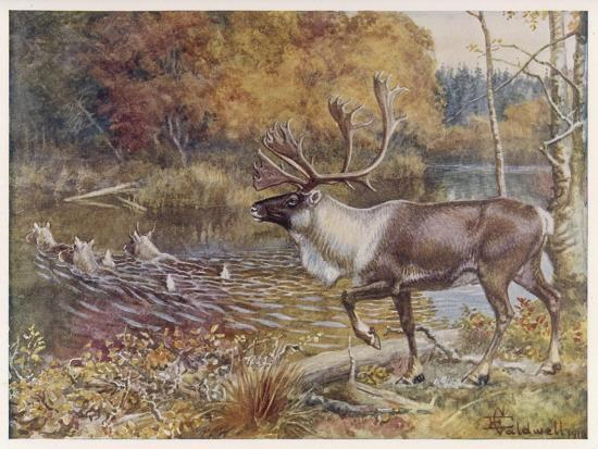 Male Caribou Watches Females Swim Across a River-E. Calawell-Stretched Canvas Print