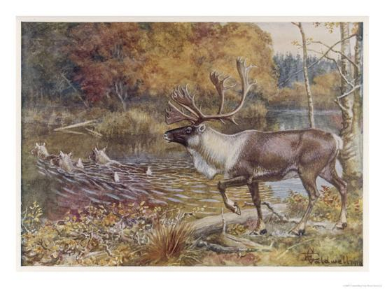 Male Caribou Watches Females Swim Across a River-E. Calawell-Giclee Print
