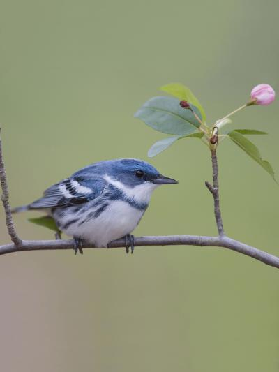 Male Cerulean Warbler (Dendroica Cerulea) Perched on a Branch-Steve Maslowski-Photographic Print