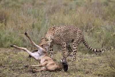 Male Cheetah (Acinonyx Jubatus) Killing a Newborn Blue Wildebeest (Brindled Gnu) Calf-James Hager-Photographic Print