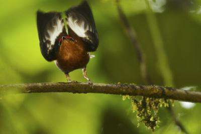 Male Club-Winged Manakin (Machaeropterus Deliciosus) Hitting Wings Together To Attract Mate-Tim Laman-Photographic Print