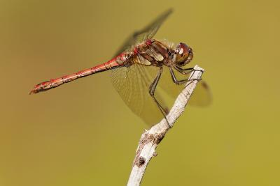 Male Common Darter Dragonfly (Sympetrum Striolatum) Resting on the End of a Twig, Dorset,Uk-Ross Hoddinott-Photographic Print