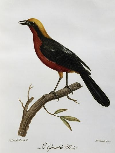 Male Common Gonolek (Laniarius Barbarus)--Giclee Print