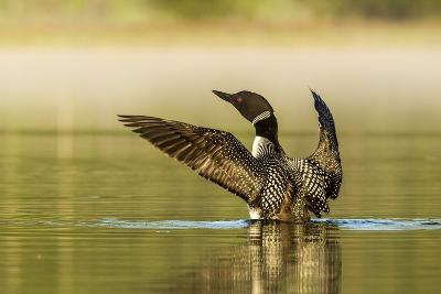 Male Common Loon Bird Drying His Wings on Beaver Lake Near Whitefish, Montana, USA-Chuck Haney-Photographic Print