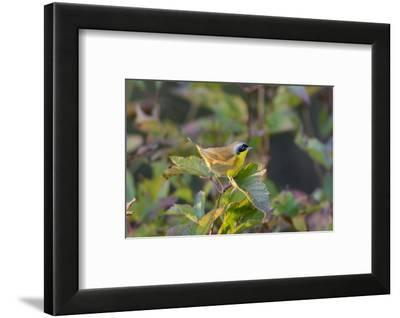 Male common yellowthroat (Geothlypis Trichas) in Blue Atlas Cedar. Marion County, Illinois.-Richard & Susan Day-Framed Photographic Print