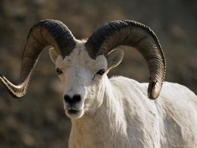 Male Dall Sheep (Ovis Dalli), Denali National Park, Alaska, United States of America, North America-James Hager-Photographic Print