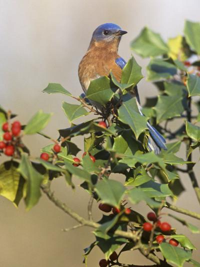Male Eastern Bluebird in Holly (Sialia Sialis), North America. Missouri State Bird-Steve Maslowski-Photographic Print