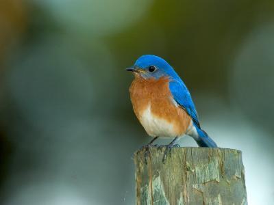 Male Eastern Bluebird on Fence Post, Florida, USA-Maresa Pryor-Photographic Print
