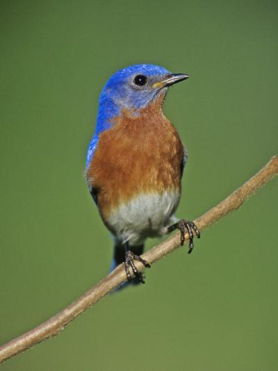 Male Eastern Bluebird, Sialia Sialis, North America. Missouri State Bird-Joe McDonald-Photographic Print