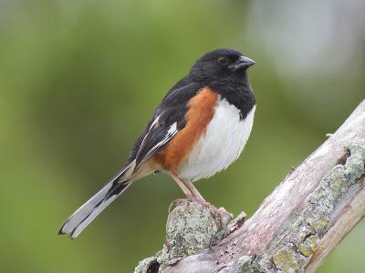 Male Eastern Towhee, Pipilio Eurythrophthalmus, on a Branch-George Grall-Photographic Print