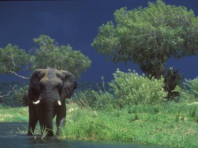 https://imgc.artprintimages.com/img/print/male-elephant-under-stormy-skies-on-bank-of-zambezi-river-zimbabwe_u-l-p8y9fd0.jpg?p=0