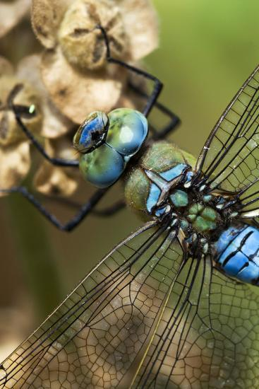 Male Emperor Dragonfly-Adrian Bicker-Photographic Print